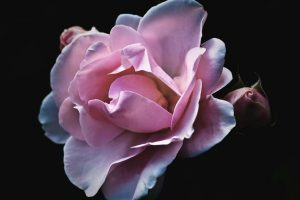 Fresh rose petals are used to produce rose essential oil.