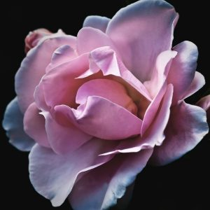 Rose Oil Review - Rose Absolute Essential Oil